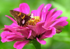 A suddenly abundant Silver-spotted Skipper enjoys a refreshed zinnia.