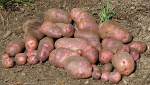 Viking Purple potato harvest