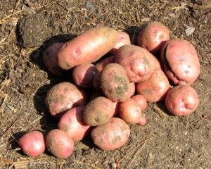 Viking Red potato harvest