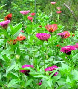 Berry Basket Zinnias