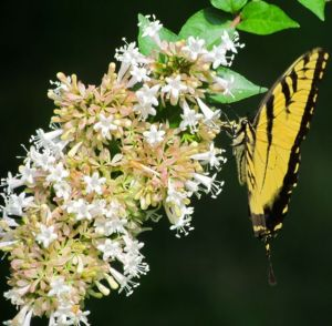 Eastern Tiger Swallowtail on Chinese Abelia bloom