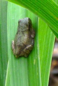 Probably a Copes Gray Tree froglet
