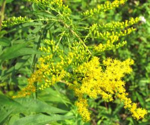 Goldenrods are just beginning to glow.