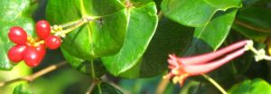 Lonicera sempervirens 'Major Wheeler'
