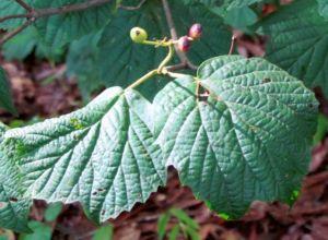 Maple-leaf viburnum berries