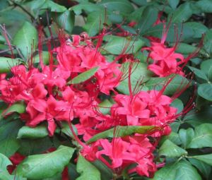 Hummingbirds love mid-summer-blooming Plumleaf Azalea, which blooms after its leaves are already well established.