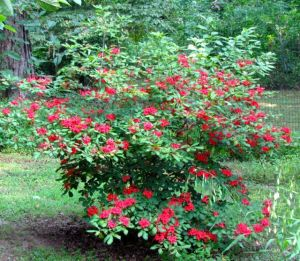 Native Plumleaf azalea blooms in mid-summer, providing a native source of food for local hummingbirds.