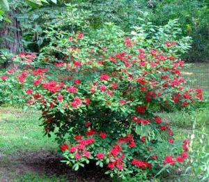 Plumleaf azalea