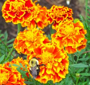 A carpenter bee dozes on a Queen Sophia marigold as it waits for the sun to return.