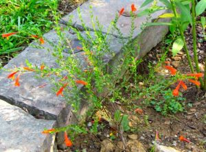 Scarlet Wild Basil