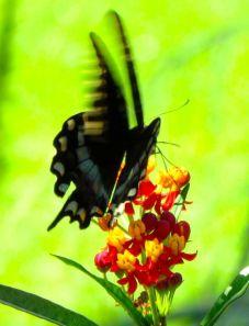 Spicebush Swallowtail on Milkweed flower