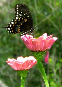 Spicebush Swallowtail on a Beauty Basket Zinnia