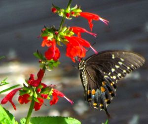 Spicebush Swallowtail stops for a drink.