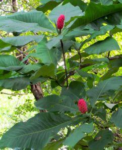 Umbrella Magnolia seed cones