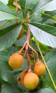 Red Buckeye fruits