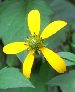 Greenhead Coneflower