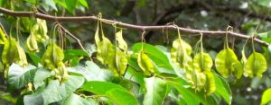Fruits of Halesia diptera will turn light brown when they're fully ripe.