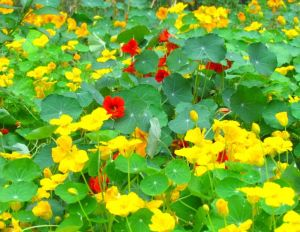 Mixed nasturtiums mingle and multiply