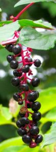 Pokeberry fruits