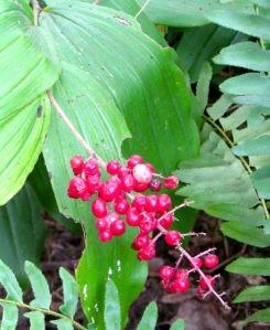 Ripe fruits of Solomon's Plume