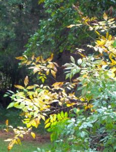 Click on this image to clearly see these Ash leaves comprised of leaflets.