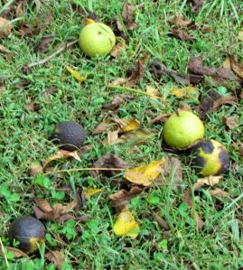 Now the walnuts are a hazard to unwary walkers.