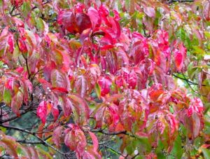 Cornus florida displays peak autumn color.