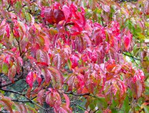 Cornus florida displays peak autumn color.