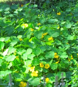 These will be nasturtium mush after Sunday morning's freeze.