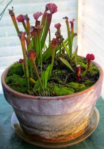 Even the carnivorous pitcher plants seem to over-winter well in the greenhouse, as long as I keep their saucers full of water.