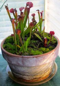 Native pitcher plants that summer in my water feature.