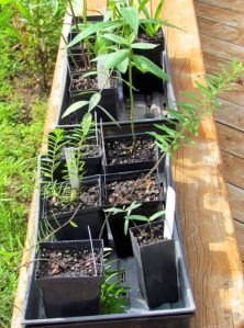 Milkweed newbies that require excellent drainage.