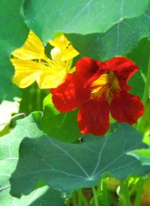 Final moments in the sun for these nasturtiums