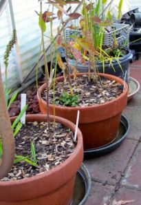 Pots of plants that normally sit inside the water feature sit in water-filled saucers in the greenhouse for the winter.