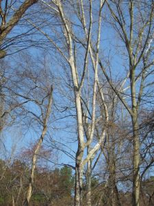 American Sycamore struts its stuff in the winter landscape.
