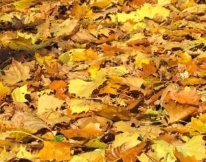 Freshly discarded Sycamore leaves hold their color for about a week before turning darker brown.