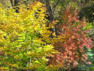 Native fall color left to right: American Beech, Musclewood, and Sourwood