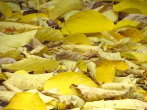 Freshly fallen leaves of Halesia diptera will soon go brown and melt into the earth.
