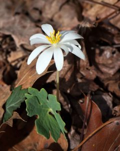 Once an abundant wildflower of the north slopes of piedmont forests, Bloodroot numbers  are dwindling due to habitat degradation. They aren't endangered yet, but current trends don't work in their favor.