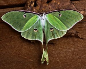 Luna moths need healthy native forests to thrive.