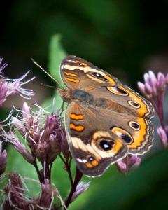 Native Joe Pye Weed attracts more diverse pollinators in my yard.