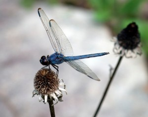 Dragonflies need access to healthy wetlands for egg laying. In return, they scour the skies for pesky insects from dawn to dusk.