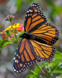 Monarch butterflies are less likely to visit your lantanas if  milkweeds to feed their caterpillars don't grow nearby.
