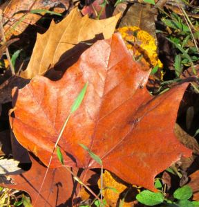 A discarded Sycamore leaf. They are thicker than many leaves, usually persisting intact through much of the winter.