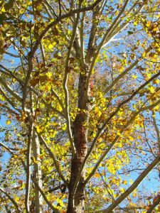 The last autumn leaves were still clinging to my Sycamores only a week ago.