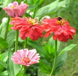 Zinnia Berry Basket mix
