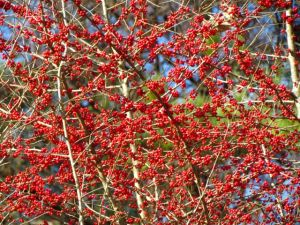 The birds have eaten all the berries on my other deciduous hollies. Perhaps this is an emergency back-up supply?