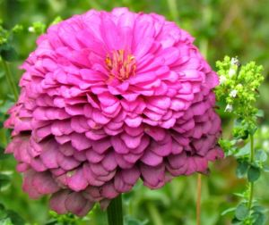Berry Basket Zinnia