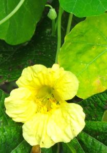 Nasturtium Moonlight was OK but not memorable.