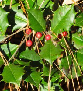 Native holly (Ilex opaca)